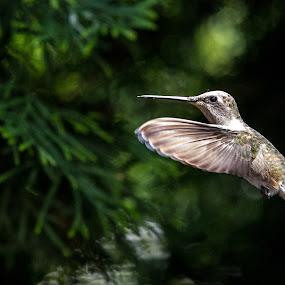Hummingbird by Steve Densley - Animals Birds ( hummingbird, high speed, birds, humming bird, animal,  )