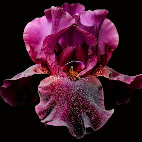 Iris by Stephanie Munguia-Wharry - Flowers Single Flower ( purple, iris, flower )