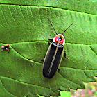 Pyralis Firefly (Lightning Bug)