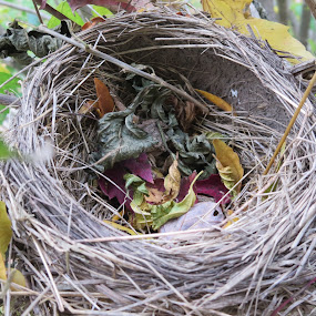 Robin nest, abandoned by Marcia Taylor - Novices Only Objects & Still Life (  )