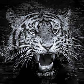 tigers by Ricky Agvirty - Black & White Animals