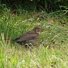 Common Blackbird (Juvenile)