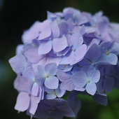 紫陽花 壁紙 アジサイ 満開  無料版FREEフリー