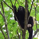Mono aullador ( orinando). Howler monkey (urinating)