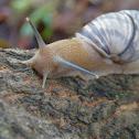 Jamaican Tree Snail