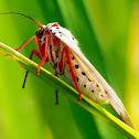 Legred Moth