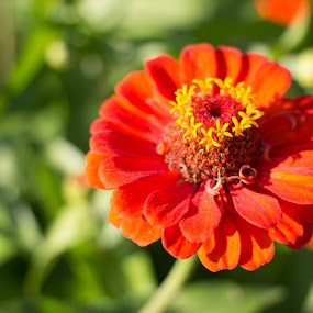 Summer Bloom by Luis Mendez - Flowers Single Flower ( orange, simple, summer, blur, flowers )
