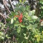 Brazilian-pepper tree