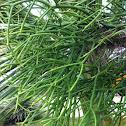 Firestick Plants, Indian Tree Spurge, Naked Lady, Pencil Tree, Sticks on Fire or Milk Bush) (Sanskrit: सप्तला saptala,
