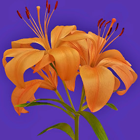 Lily Love by Diana Postill - Flowers Flower Arangements ( orange, lily, nature, bloom, flower )