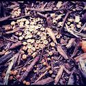 Dung-loving bird's nest mushroom