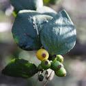 Quintral del Molle (Frutos) / Quintral (Fruits)
