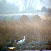 Whooping Crane amongst Sandhill Cranes