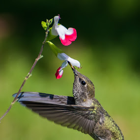 Female Anna's Hummingbird by Shawn Crowley - Animals Birds