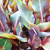Canna { foliage Group}