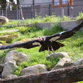 california condor  by Elvis Gutierrez - Animals Birds (  )