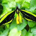 green birdwing, australian birdwing