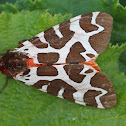 Garden Tiger Moth or Brauner Bär