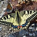 Old World Swallowtail/Common Yellow Swallowtail
