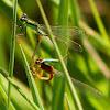 Rambur's Forktail Damselfly (mating pair)