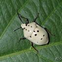 Dalmata Shield Bug