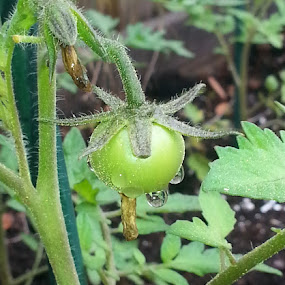 Baby Tomato by Ava Bethlenfalvy-Pitts - Nature Up Close Gardens & Produce ( tomato, yum, garden,  )