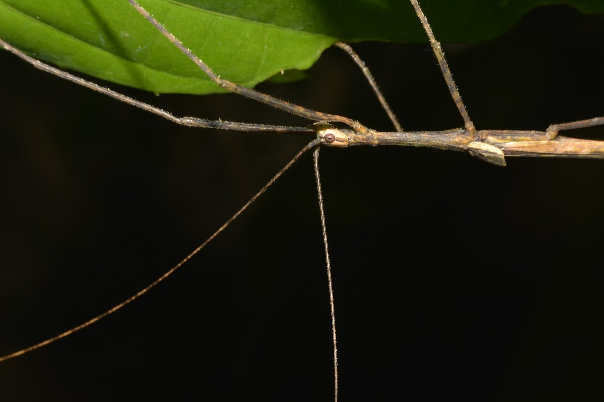 Winged Stick Insect, Phasmid - Male