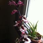 Freckle face mini-orchids
