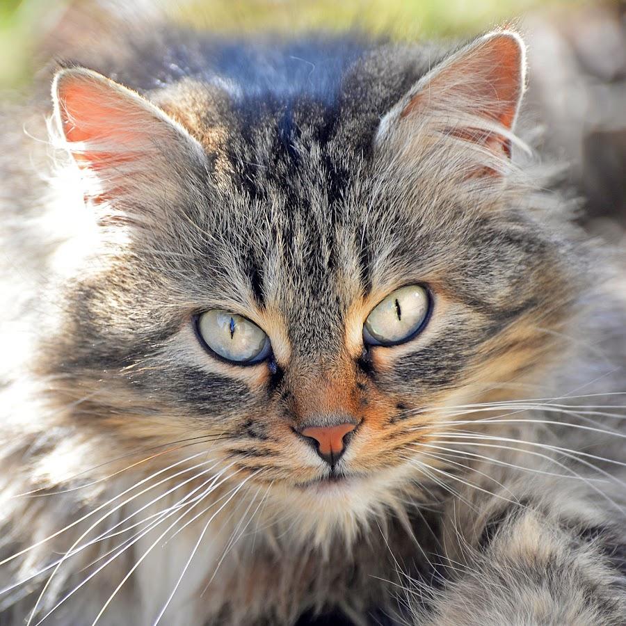 by Maja  Marjanovic - Animals - Cats Portraits ( cats, cat, animals,  )