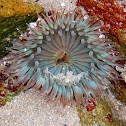 Starbust anemone