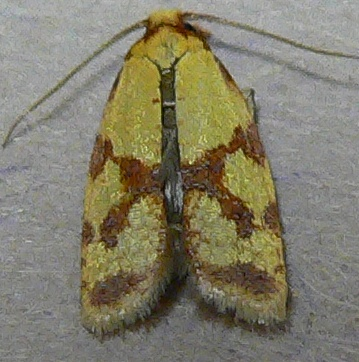 Sparganothis Fruitworm Moth