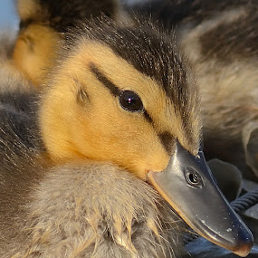 Mallard Duckling by Shawn Crowley - Animals Birds