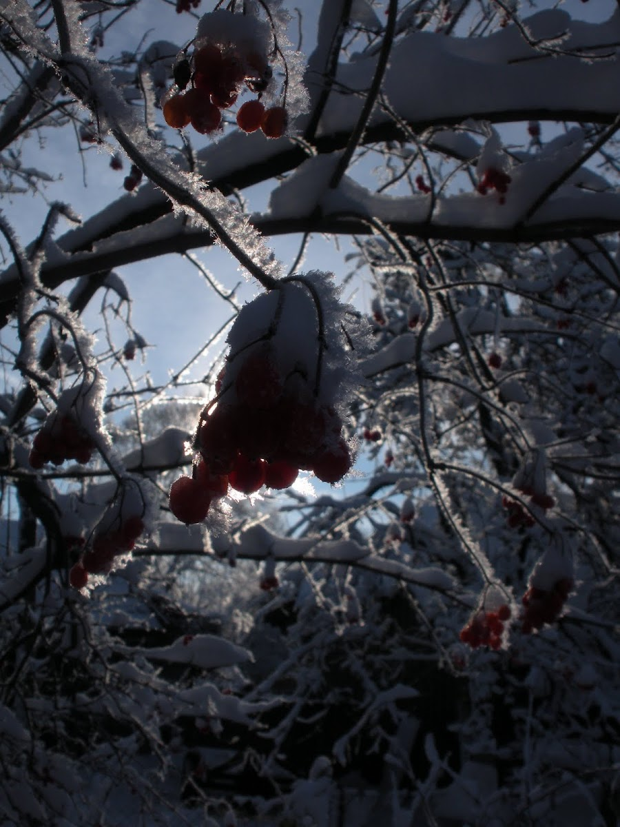 European Cranberrybush / Snowball tree