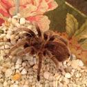 Rose Haired Tarantula