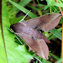 Hawk Moth