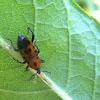 Cocklebur Weevil