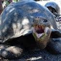 Tortuga gigante. Galapagos Giant tortoise
