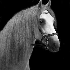 Lipizzan Stallion by Susan Hogan - Black & White Animals