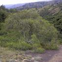 Rubber Hedge Euphorbia