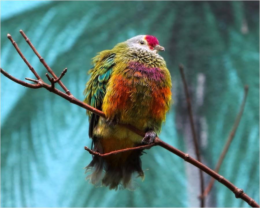 Mariana Fruit Dove by Dennis Bartsch - Animals Birds