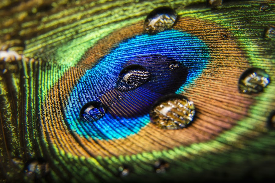 Peacock Feather by Dustin Olsen - Nature Up Close Natural Waterdrops