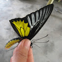 Dr. Platen's Birdwing Butterfly