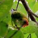 Sri Lankan Hanging-Parrot