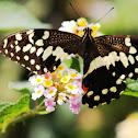 Papillon de Vinson