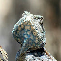 Blue headed /Tree Agama