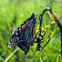Monarchs Matting