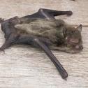 Little Forest Bat
