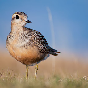 Piviere Tortolino - Dotterel - Charadrius morinellus by Ricky Papex - Novices Only Wildlife ( dotterel, tuscany,  )