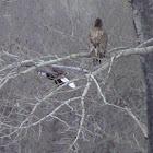 Bald Eagle adult and juvenile