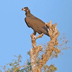 Cinereous vulture by Prasanna AV - Animals Birds